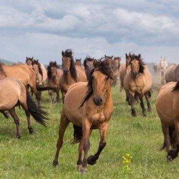 «Башкирские лошади», Эдуард Дильмухаметов